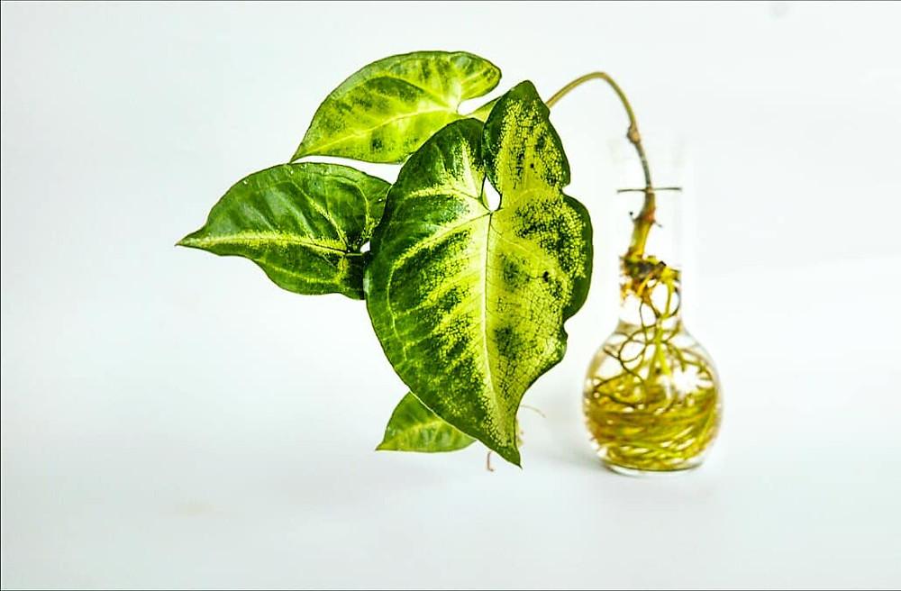 ענף ירקו משריש בתוך צנצנת זכוכית שקופה.