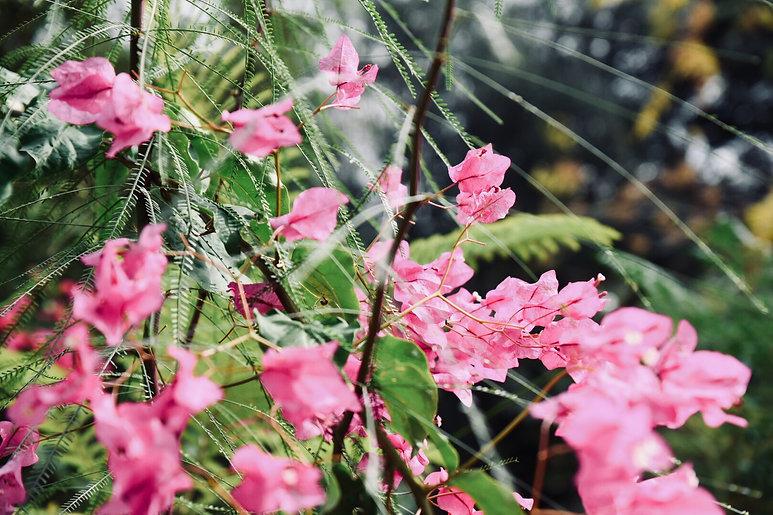 ביגונוויליה פורחת בגינה