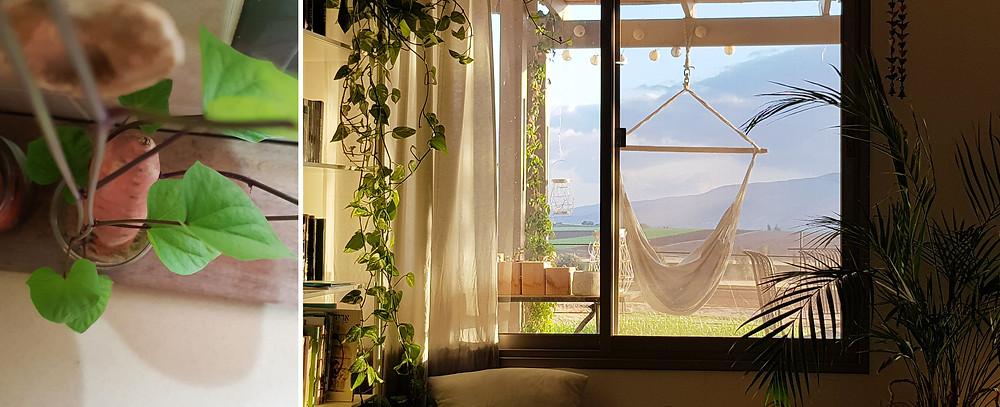 נוף אל המרפסת והר גלבוע ובטטה שנובטת בצנצנת