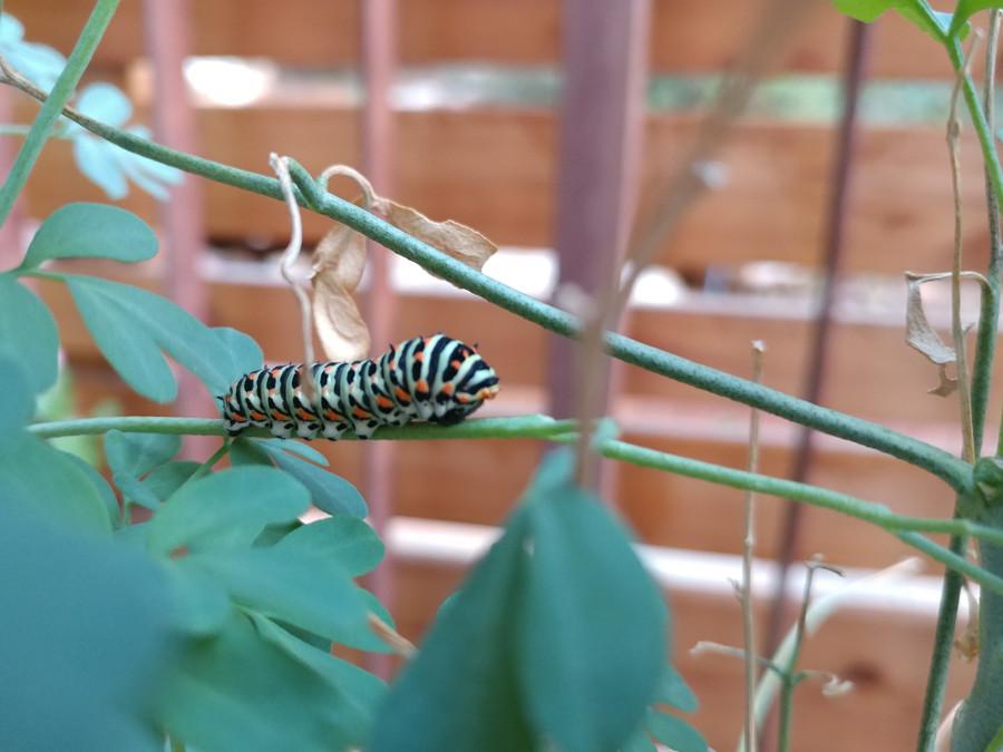 זחל של זנב סונית על ענף של צמח פיגם