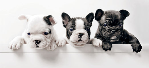 Three%20French%20Bullgod%20Puppies_edited.jpg