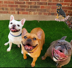 3frenchies