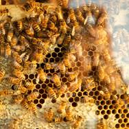 Un cadre d'abeilles ouvrières