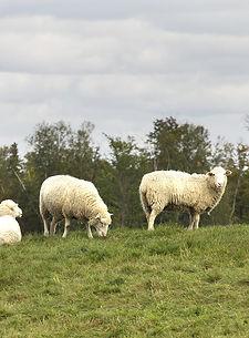 trio-agneau-02.jpg