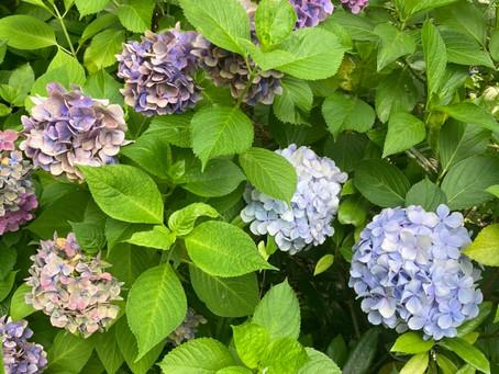 ☆紫陽花(プライベート)☆