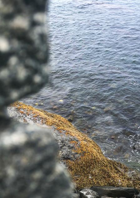 ocean seaweed (Newport, RI)
