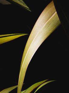 Phormium aka New Zealand Flax