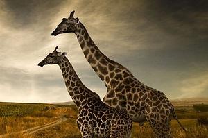 Giraffes_edited_edited_edited.jpg
