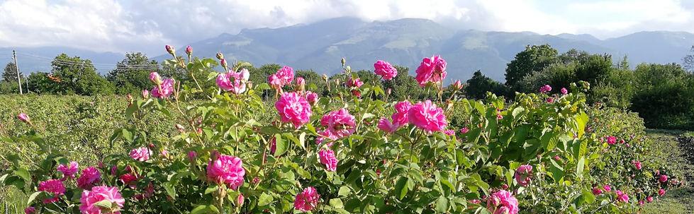 Rose Field in Bulgaria