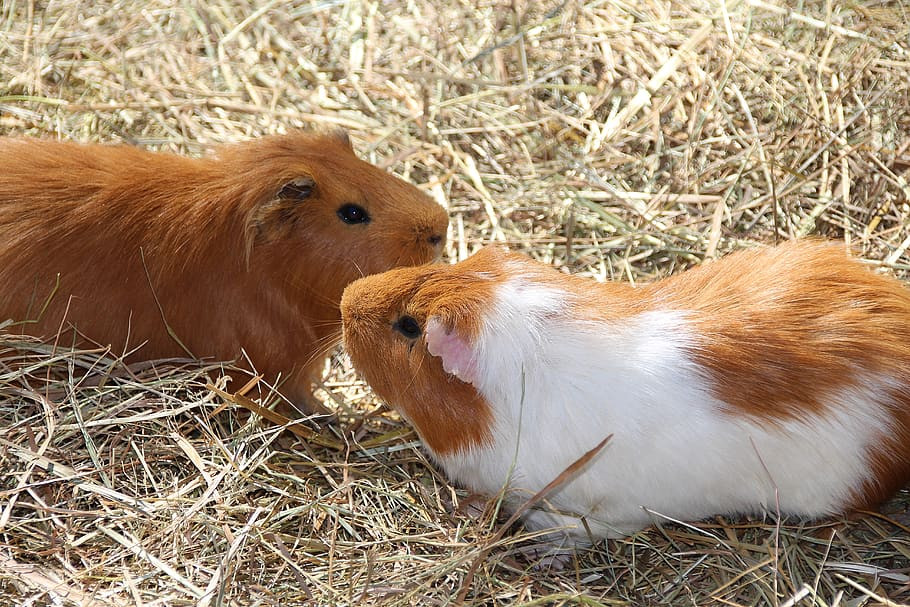 guinea-pig-nager-rodent-small-animal.jpg