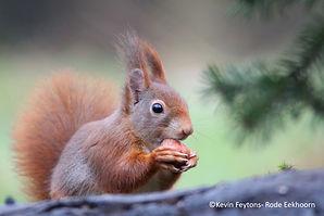 Kevin Feytons - Rode Eekhoorn.jpg