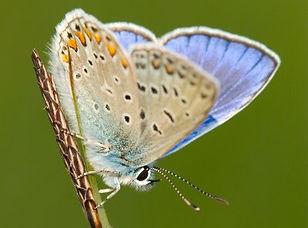 Icarusblauwtje- Jeroen Mentens-Vilda.jpg
