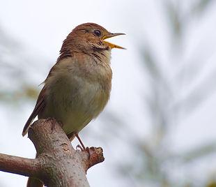 nightingale-4471972_1280_edited.jpg