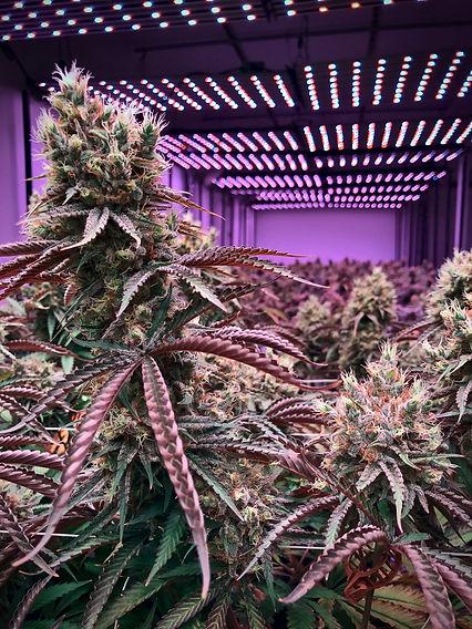 cannabis-3842166.jpg