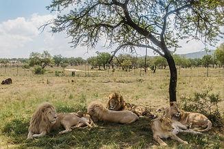lion safari park.jpg