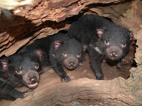 Por primera vez en 3.000 años nacen demonios de Tasmania en Australia continental