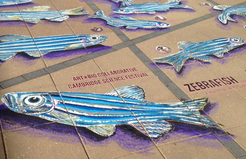 Zebra Fish (Art+Bio Collaborative), Kendall Sq. Cambridge, MA, 2016 | Photo by Andrew J Rennekamp PhD, Instructor in Medicine of Harvard Medical School