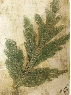 Begonia golden - single leaf