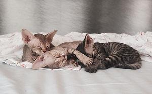 Bosco di Stelle - Allevamento riconosciuto ANFI di Cuccioli di gatto di razza Devon Rex