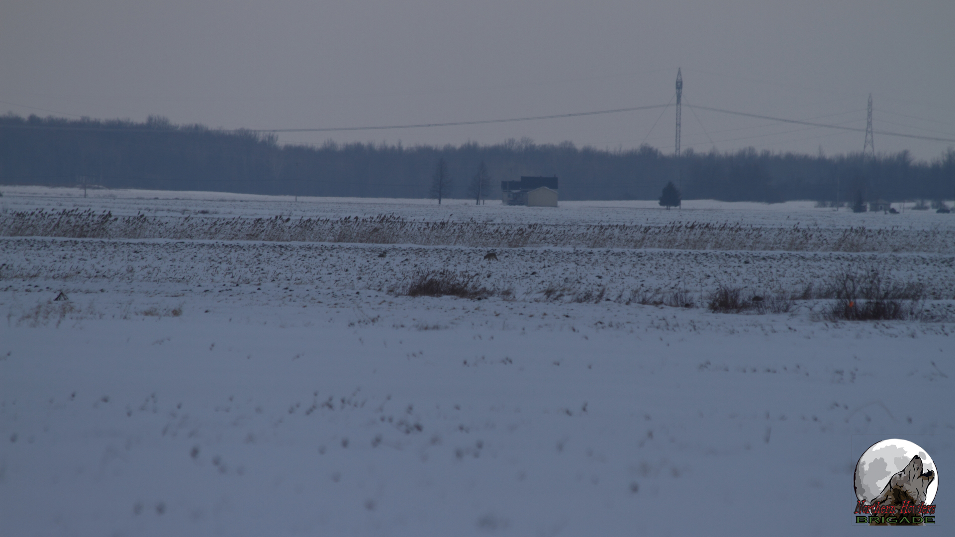 pair of coyote spotted from the road