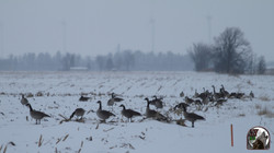 NHB Canada goose