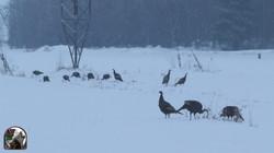 NHB Wild turkey flock 001
