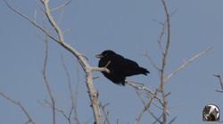NHB Crow