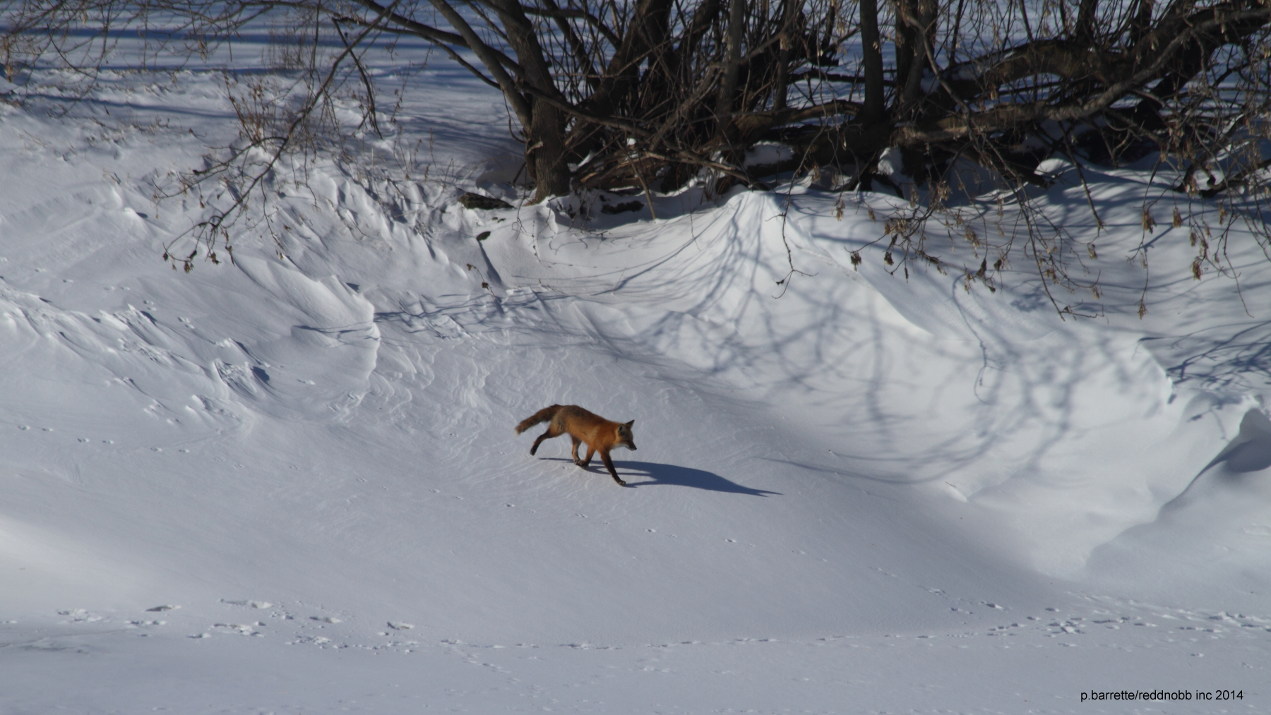 Fox trotting on frozen riverbank