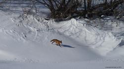 Fox trotting on frozen riverbank