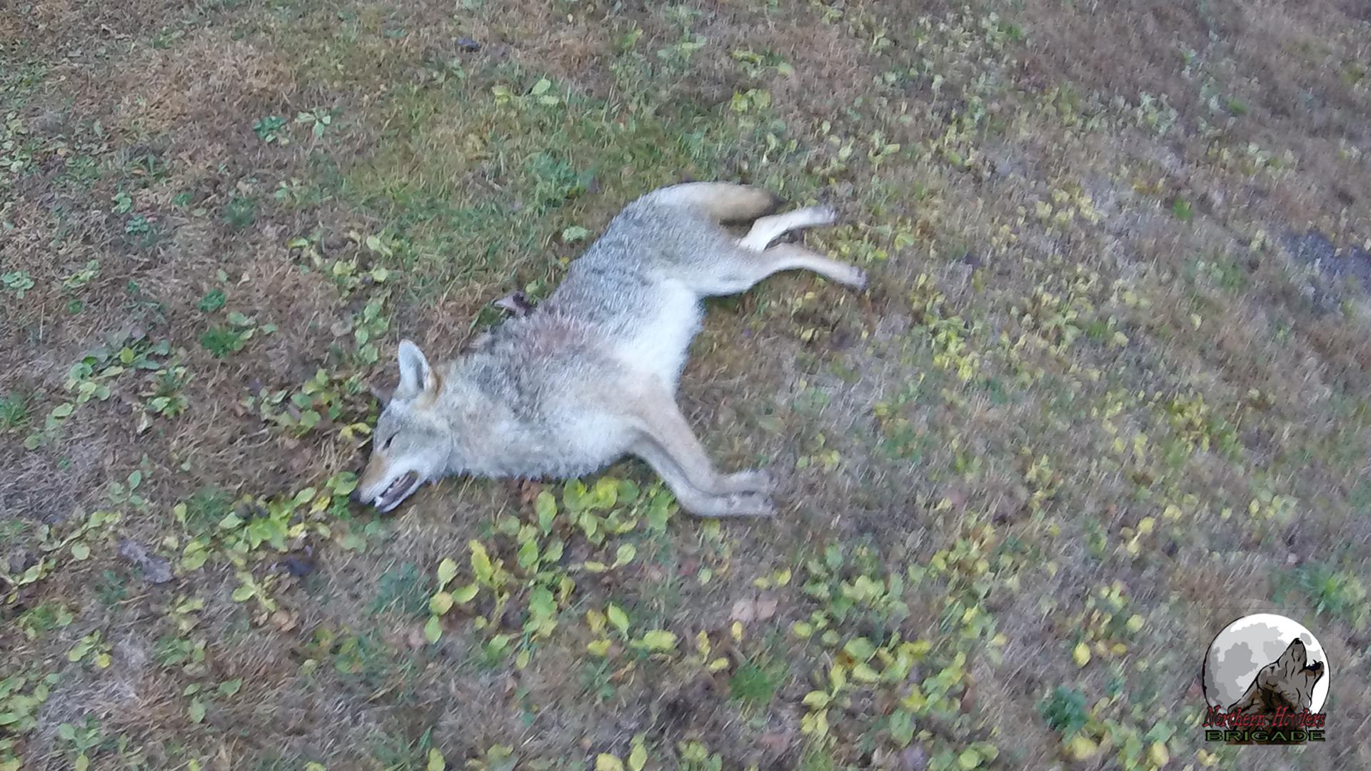 NHB 11-28-2015 Mick coyote 002