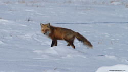 red fox marking his territorry
