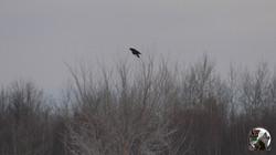 NHB Crow 002
