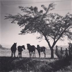 Wild Horses at The Goodland Entrance