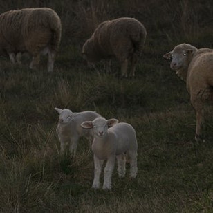 view with lambs
