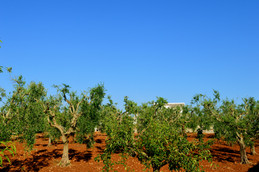 Masseria Faraone   The Olive Grove