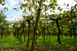 Culture and Tradition in Puglia | Vineyards and the harvest