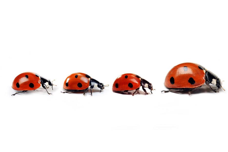 Mother ladybug with three little kids.jp
