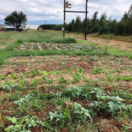 Vegetable gardens.JPG