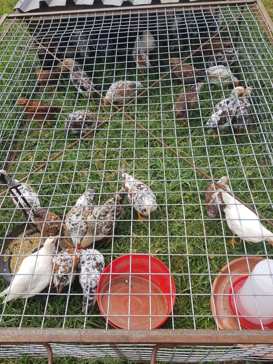 Jezreel Chickens