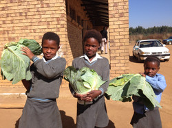 Cabbages from Moolman