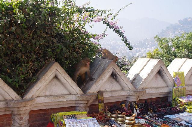 BCA Nepal Rhesus macaque photos (159).JP