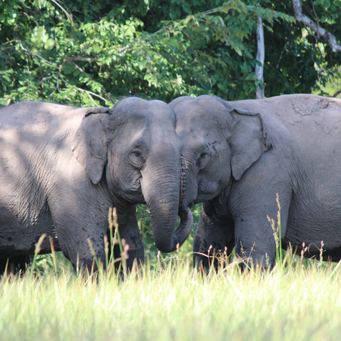 Elephants natural behaviour