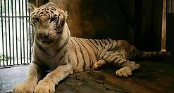 tiger-zoo.jpg