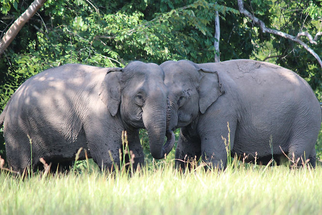 YDNP ELE 20191010 elephants Bun Kham and