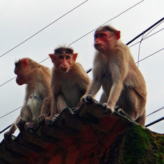 Urban macaques