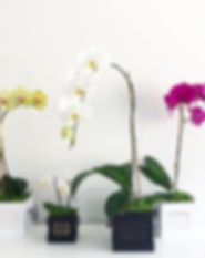 Mfleurs-Orchids-Flowers-Roses-Montreal-E