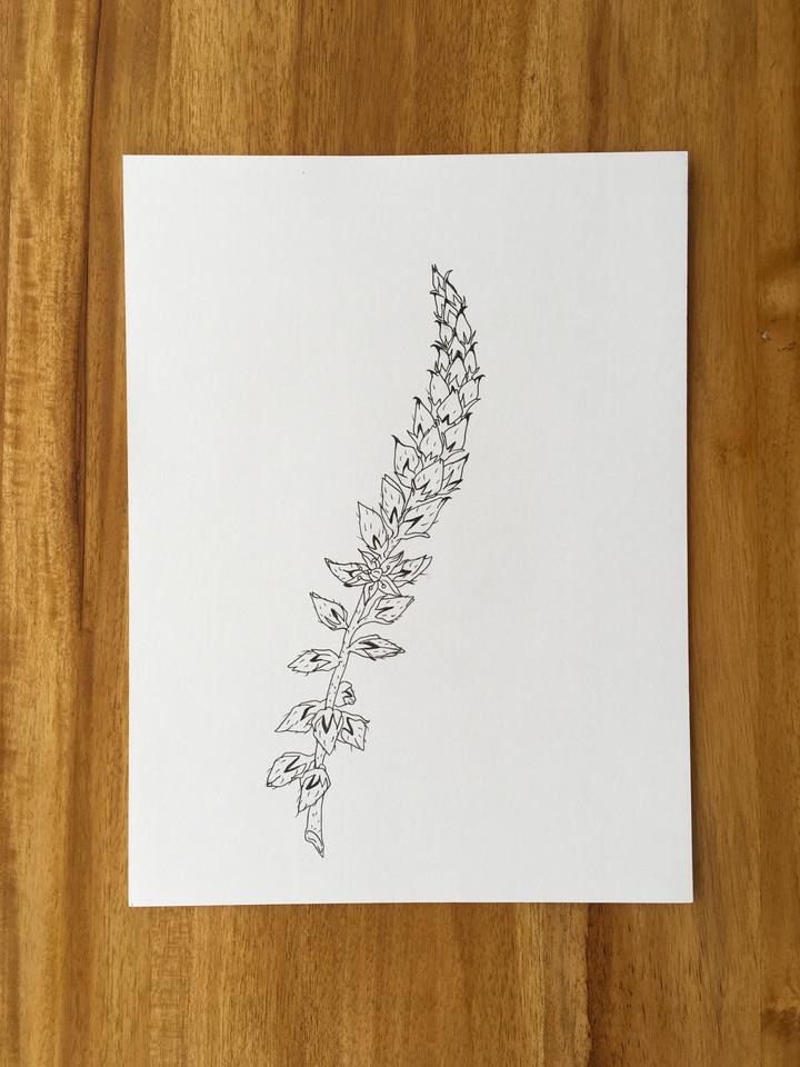 Achyranthes talbotii