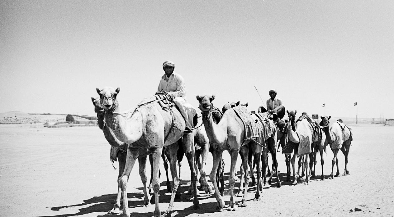 Camel Training Al Ain