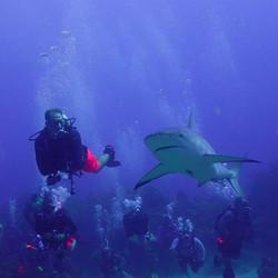 gulf coast divers shark diving