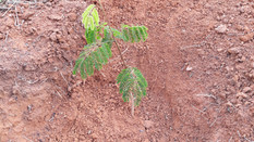 Plantio SICOOB